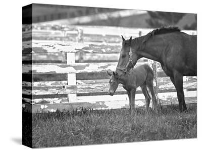 Female Thoroughbred and Foal, Donamire Horse Farm, Lexington, Kentucky-Adam Jones-Stretched Canvas Print
