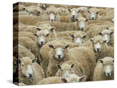 Mob of Sheep, Catlins, South Otago, South Island, New Zealand-David Wall-Stretched Canvas Print