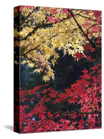 Maple Trees, Portland Japanese Garden, Oregon, USA-William Sutton-Stretched Canvas Print