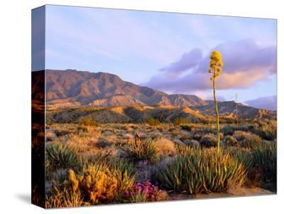 USA, California, Anza-Borrego Desert State Park. Agave Wildflowers-Jaynes Gallery-Stretched Canvas Print