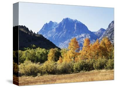 California, Sierra Nevada, Inyo Nf, Fall Colors of Aspen Trees-Christopher Talbot Frank-Stretched Canvas Print