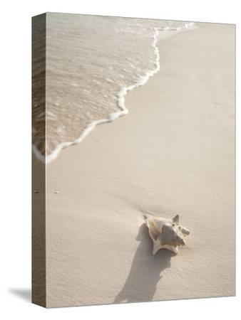 Conch Shell Washed Up on Grace Bay Beach, Providenciales, Turks and Caicos Islands, West Indies-Kim Walker-Stretched Canvas Print