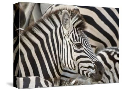 Burchells Zebra, Head, Botswana-Mike Powles-Stretched Canvas Print