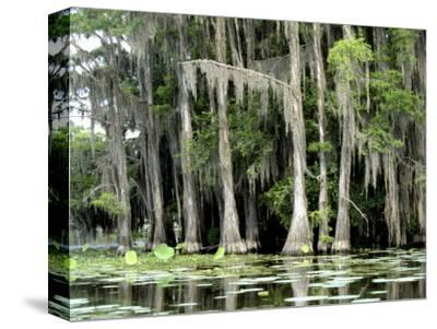 Moss Covered Bald Cypress Trees, Caddo Lake, TX-Ray Hendley-Stretched Canvas Print