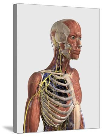 Human Upper Body Showing Muscle Parts, Axial Skeleton, Veins and Nerves-Stocktrek Images-Stretched Canvas Print