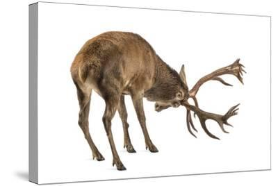 Red Deer Stag in Front of a White Background-Life on White-Stretched Canvas Print