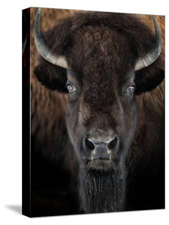 American Bison II-abzerit-Stretched Canvas Print