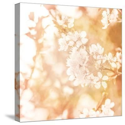 Picture of Beautiful Apple Tree Blossom-Anna Omelchenko-Stretched Canvas Print