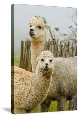 An Alpaca Mother and Baby-acceleratorhams-Stretched Canvas Print