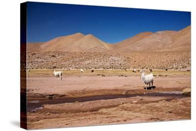 Lamas in Atacama Desert, Chile-Nataliya Hora-Stretched Canvas Print