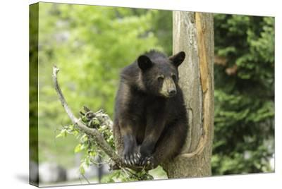 Black Bear in a Tree-Josef Pittner-Stretched Canvas Print