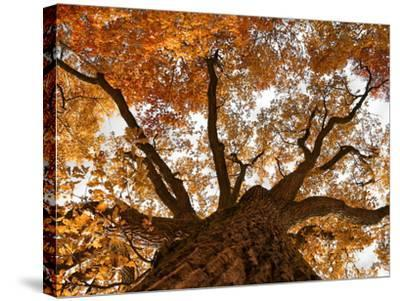 Oak-Schlegelfotos-Stretched Canvas Print
