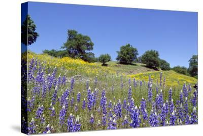 Lupines, California Poppies, and Oak Trees-coyote-Stretched Canvas Print