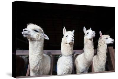 Face of Four Funny Alpacas Llama in Farm-khunaspix-Stretched Canvas Print