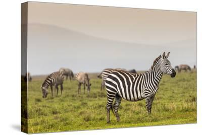 Zebra in National Park. Africa, Kenya-Curioso Travel Photography-Stretched Canvas Print