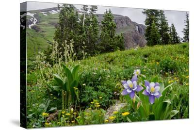 Columbine and Wildflowers in Colorado Mountain Basin-kvd design-Stretched Canvas Print