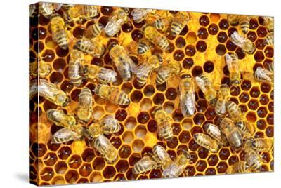 Working Bees on Honeycells-mady70-Stretched Canvas Print