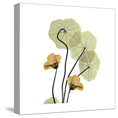 Nasturtium Bouquet-Albert Koetsier-Stretched Canvas Print