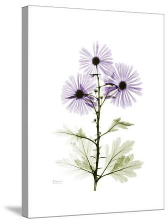 Chrysanthemum Trio-Albert Koetsier-Stretched Canvas Print