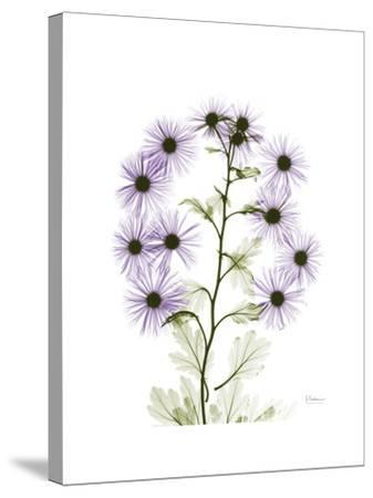 Chrysanthemum Family-Albert Koetsier-Stretched Canvas Print