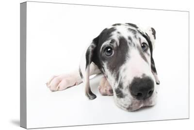 Puppies 025-Andrea Mascitti-Stretched Canvas Print