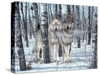Snow Shadows-Gordon Semmens-Stretched Canvas Print
