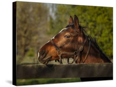 Horse Portrait-Galloimages Online-Stretched Canvas Print