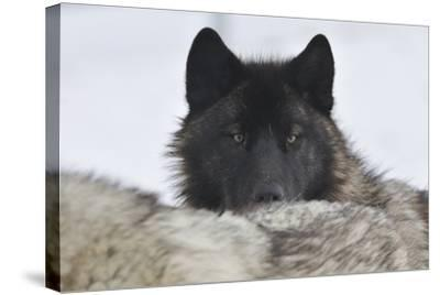 Zoo Wolf 08-Gordon Semmens-Stretched Canvas Print