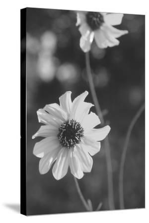 Wildflowers 11-Gordon Semmens-Stretched Canvas Print
