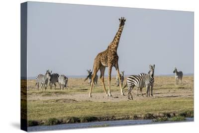 Kenya, Amboseli NP, Maasai Giraffe with Burchell's Zebra at Water Hole-Alison Jones-Stretched Canvas Print
