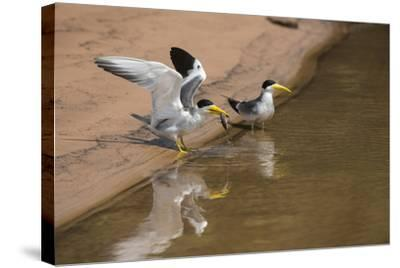 Large-Billed Tern, Northern Pantanal, Mato Grosso, Brazil-Pete Oxford-Stretched Canvas Print