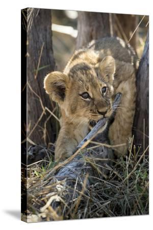 Botswana, Chobe NP, Lion Cub Chewing Stick under an Acacia Tree-Paul Souders-Stretched Canvas Print