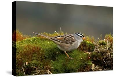 The White-Crowned Sparrow, Native to North America-Richard Wright-Stretched Canvas Print