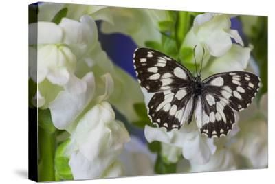The Marbled White Butterfly, Melanargia Galathea from Europe-Darrell Gulin-Stretched Canvas Print