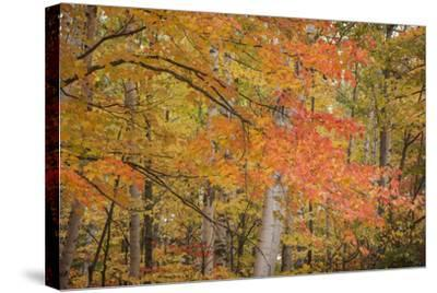 USA, Michigan, Upper Peninsula. Red Maple Trees in Autumn Color-Don Grall-Stretched Canvas Print