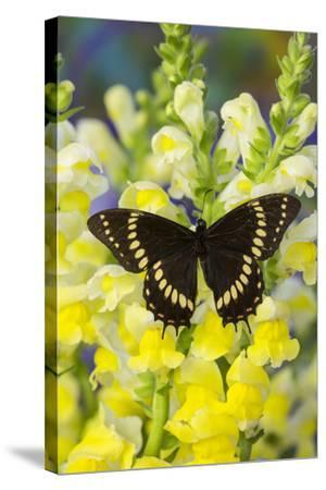 Scamander Swallowtail Butterfly from Brazil, Papilio Scamander-Darrell Gulin-Stretched Canvas Print