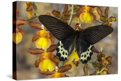Priapus Batwing Swallowtail Butterfly, Atrophaneura Priapus-Darrell Gulin-Stretched Canvas Print