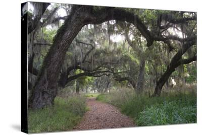 Morning Light Illuminating the Moss Covered Oak Trees in Florida-Sheila Haddad-Stretched Canvas Print