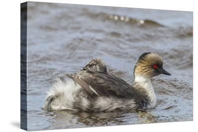 Falkland Islands, Sea Lion Island. Silvery Grebe with Chick on Back-Cathy & Gordon Illg-Stretched Canvas Print
