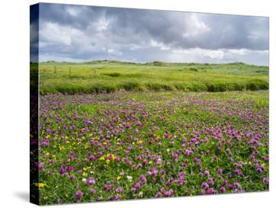 Isle of Lewis, Machair with Red Clover (Trifolium Pratense). Scotland-Martin Zwick-Stretched Canvas Print