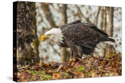 USA, Alaska, Chilkat Bald Eagle Preserve. Bald Eagle on Ground-Cathy & Gordon Illg-Stretched Canvas Print