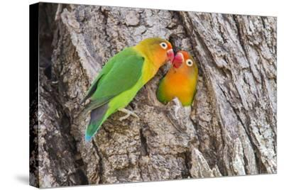 Two Fischer's Lovebirds Nuzzle Each Other, Ngorongoro, Tanzania-James Heupel-Stretched Canvas Print