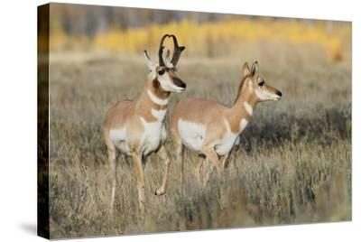 Pronghorn Antelope Buck Courting Doe-Ken Archer-Stretched Canvas Print