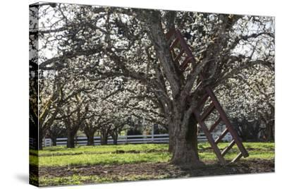 USA, Oregon, Hood River Valley, a Ladder in a Tree in an Orchard-Rick A Brown-Stretched Canvas Print