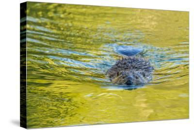 Beaver and Green Reflected Leaf Color, Oxbow Bend, Grand Teton NP, WY-Michael Qualls-Stretched Canvas Print