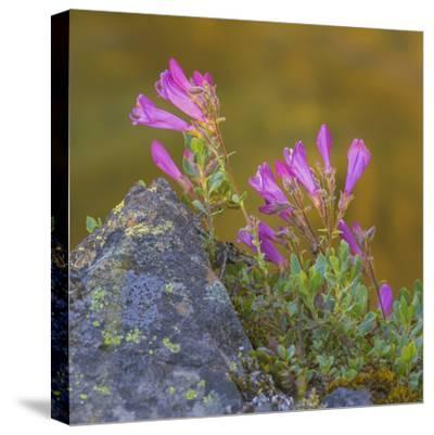 USA, Washington State, Wenatchee NF. Penstemon Flowers Scenic-Don Paulson-Stretched Canvas Print