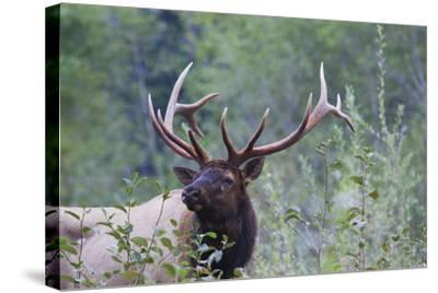 Roosevelt Bull Elk-Ken Archer-Stretched Canvas Print