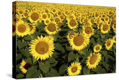 Europe, Italy, Tuscan Sunflowers-John Ford-Stretched Canvas Print