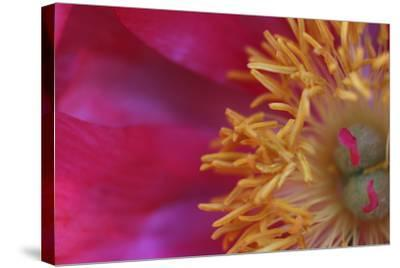 Peony Abstract-Anna Miller-Stretched Canvas Print