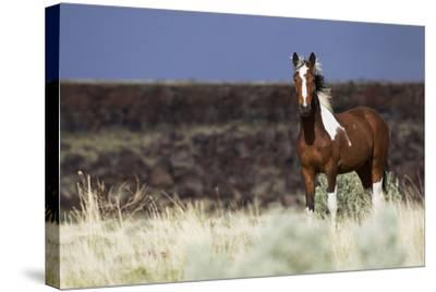 Wild Horse, Steens Mountains-Ken Archer-Stretched Canvas Print